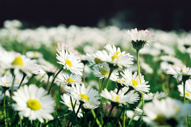 Daisies and Daisy Flowers