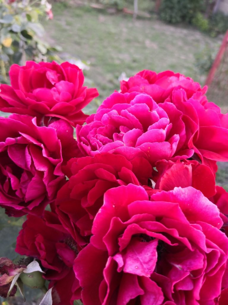 rose care throughout the year