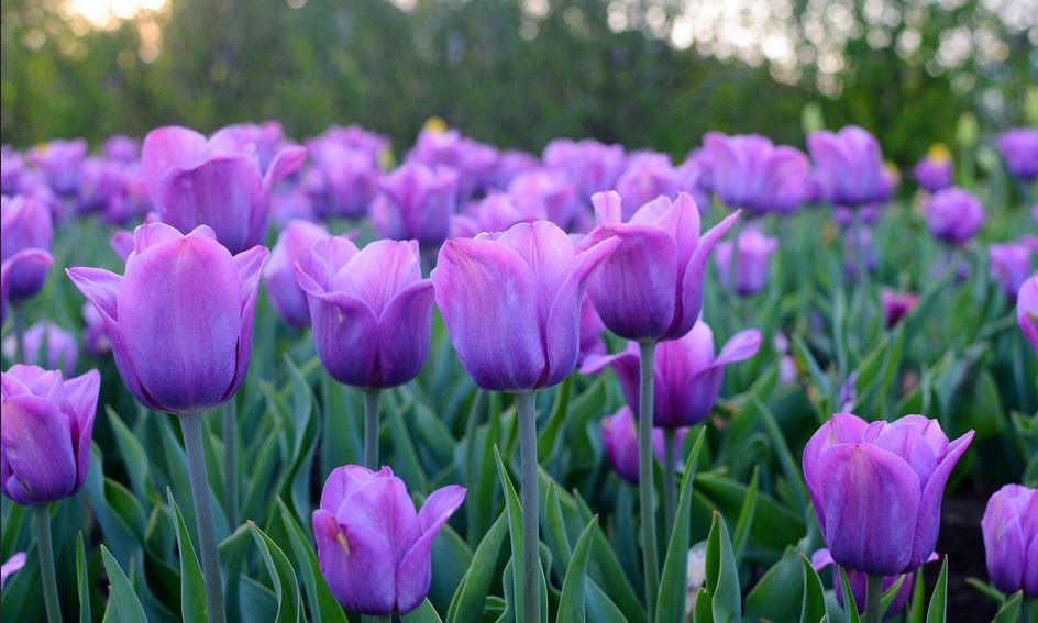 Summer-Flowering Bulbs