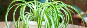 indoor-spider-plant