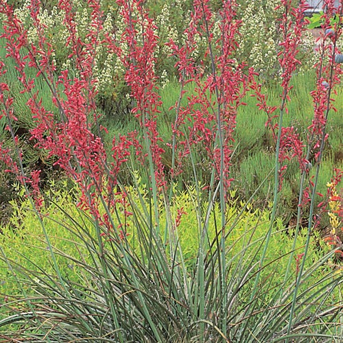 red yucca plant