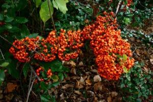 Cotoneaster (Cotoneaster franchetti)