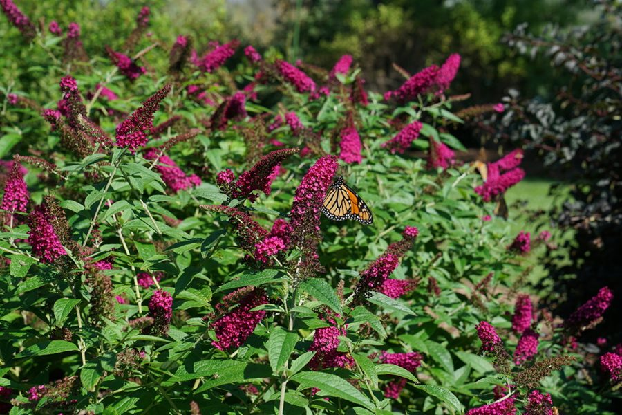Butterfly Bush Pruning