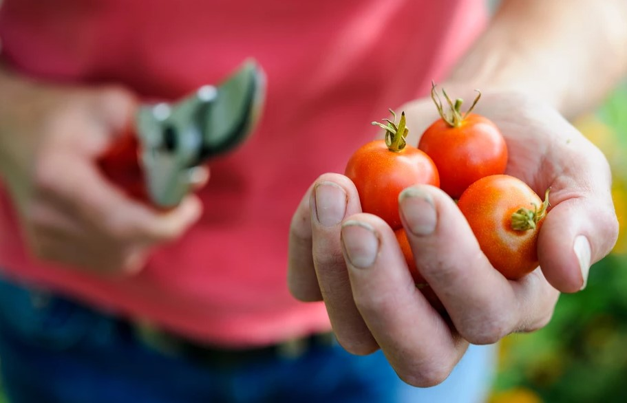 How To Plant Tomato Seeds