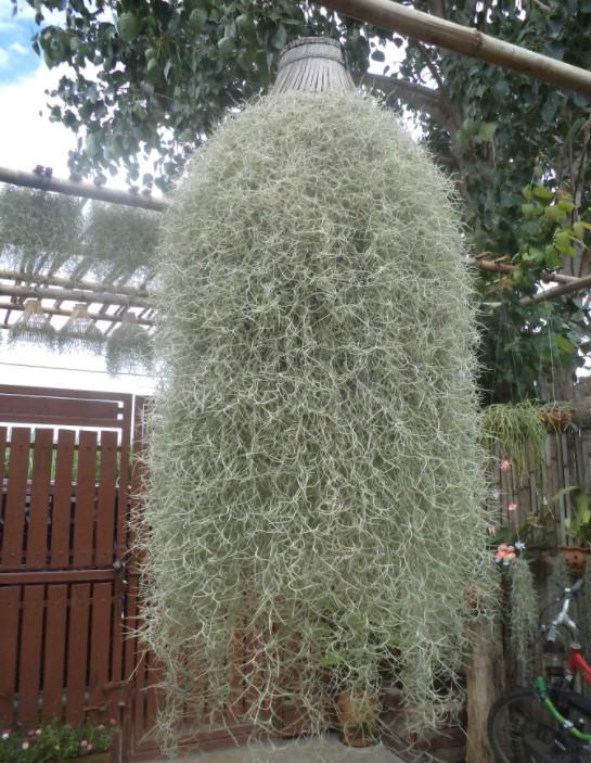 TILLANDSIA-Spanish Moss