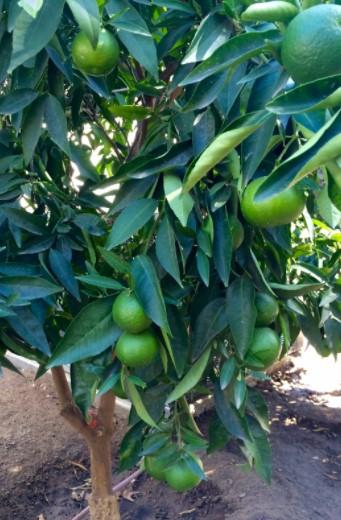 Citrus Tree