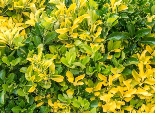 Golden Euonymous